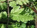 20150617Chaerophyllum temulum4.jpg