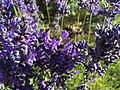 2017-07-02 Lavender 07.jpg