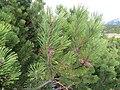 2017-11-02 (376) Pinus mugo subsp. mugo at Rax, Austria.jpg