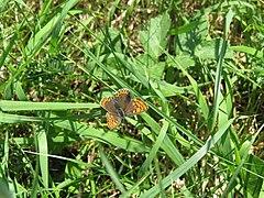 2018-05-13 (185) Female Lycaena tityrus (Sooty Copper) at Bichlhäusl in Frankenfels, Austria.jpg