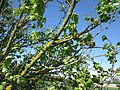 20180430Ulmus minor3.jpg