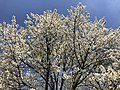 2020-04-06 13 54 37 A cherry tree blooming along Birch Bark Court in the Franklin Glen section of Chantilly, Fairfax County, Virginia.jpg