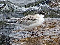 2020-07-18 Sterna dougallii, St Marys Island, Northumberland 19.jpg