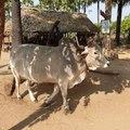 File:20200217 100940 Peasants producing palm sugar and palm liquor near Nyaung U Myanmar anagoria.webm