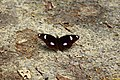 318.1琉球紫蛺蝶19(張雅惠攝) (12944866714).jpg