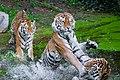 3 Siberian Tigers .jpg
