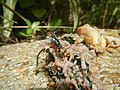 4217Foods Common houseflies Ants of the Philippines 10.jpg
