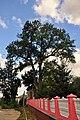 61-242-5003 Monastyryska Ash Trees RB.jpg