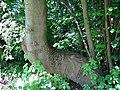 617683 A 683 Krakow Krzesławice Wankowicza 25 park w zespole dworsko parkowym 45.JPG