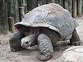A. gigantea Aldabra Giant Tortoise.jpg