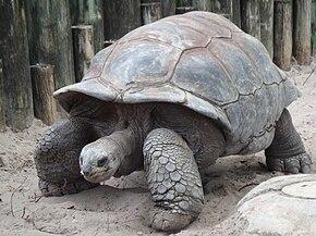 290px-A._gigantea_Aldabra_Giant_Tortoise
