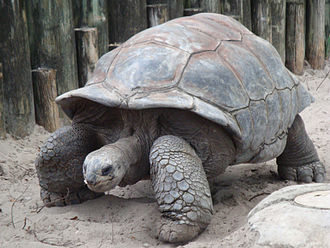 Aldabra giant tortoise (Aldabrachelys gigantea). This tortoise is native to the islands of the Aldabra Atoll in the Seychelles. Wikipedia image.