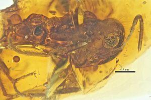 New Jersey amber - Sphecomyrma mesaki
