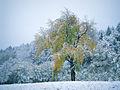 A Cherry Tree in the Snow - Flickr - rachel thecat.jpg