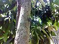 A Grig in the tree 2.jpg
