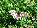A Marbled White butterfly, Hinton Parva combe - geograph.org.uk - 498358.jpg