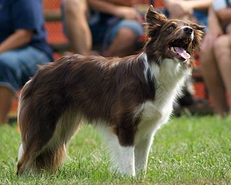 Border Collie - Dark red.