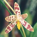 A and B Larsen orchids - Ansellia africana 587-8x.jpg