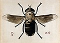 A cleg or horse fly (Tabanus biguttatus). Coloured drawing b Wellcome V0022556.jpg