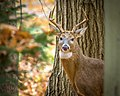 A deer in the woods, Media, Pennsylvania, U.S.jpg