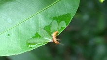 File:A hydrophilic termite (Schedorhinotermes sp.) attached to the surface of a wetted citrus leaf - pone.0024368.s007.ogv