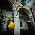 A lemon in a lemon tree in a pateo (10196401196).jpg
