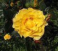 A rose 05be wp.jpg