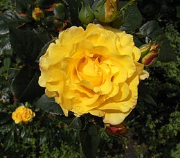 A rose 05be wp.jpg