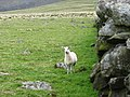 A solitary sheep near the remains of a stone circle - geograph.org.uk - 531474.jpg
