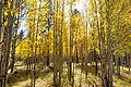 A stand of Yellow Aspen off of FR418 (3971486737).jpg