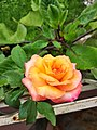 A variety of Bangladeshi rose flower.jpg