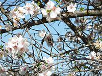 Abejorro en las flores del almendro.jpg