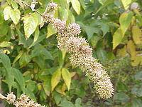 Abelia chinensis0.jpg