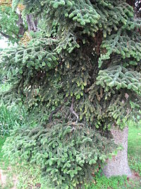 Abies numidica 01 by Line1.jpg