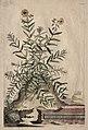 Abraham Munting - Phytographia Curiosa- Cistus Minor Rosmarini-Folius - 1994.141 - Cleveland Museum of Art.jpg