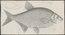 Abramis brama - 1774-1804 - Print - Iconographia Zoologica - Special Collections University of Amsterdam - UBA01 IZ15000122.tif