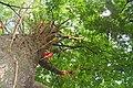 Abricó de macaco - panoramio.jpg