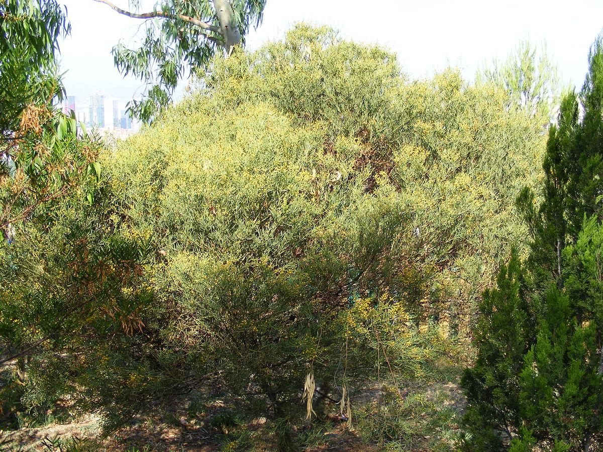 Acacia anceps - Viquipèdia, l'enciclopèdia lliure