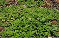 Acaena magellanica ÖBG 2012-05-20 01.jpg