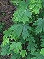 Acer macrophyllum RF.jpg