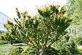 Acer palmatum Goshiki kotohime 0zz.jpg