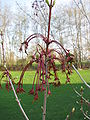 Acer rubrum 'Red Sunset' 03.jpg