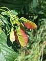 Acer tataricum (subsp. tataricum) sl5.jpg