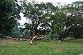 Acharya Jagadish Chandra Bose Indian Botanic Garden - Howrah 2011-02-20 1679.JPG