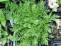 Achillea nobilis foliage.jpg