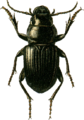 Acinopus ammophilus Jacobson.png