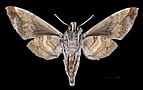 Acosmeryx shervillii MHNT CUT 2010 0 24 Taiping Perak Malaisia female ventral.jpg