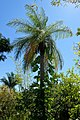 Acrocomia aculeata - Naples Botanical Garden - Naples, Florida - DSC09667.jpg
