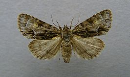 Acronicta strigosa.jpg