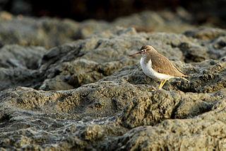 File:Actitis macularius.jpg - Wikimedia Commons